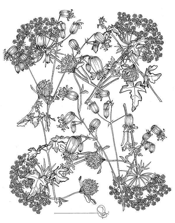 trifoglio e fiori di sambuco tecnica china