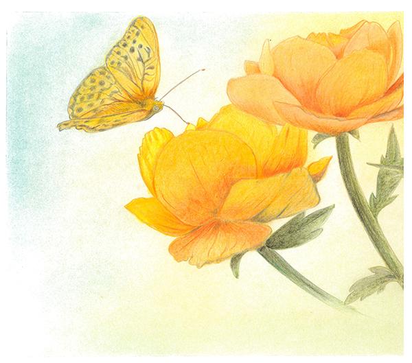 una farfalla si posa su un ranuncolo giallo tecnica matite colorate